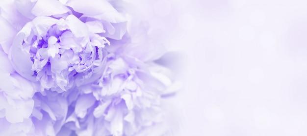 Pétalos de flores de peonía de cerca.