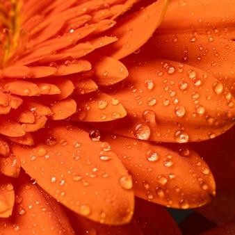 pétalos de gerbera de primavera macro