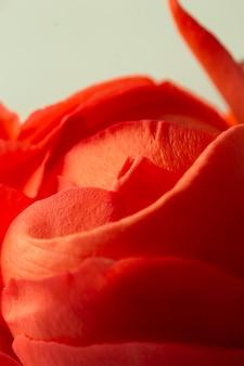 Pétalos de rosa roja de primer plano