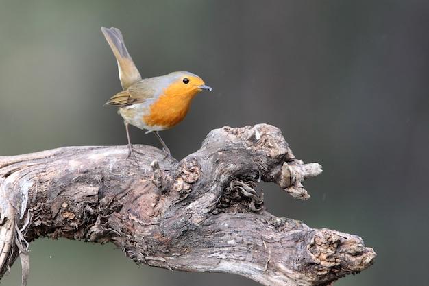 Petirrojo europeo, pájaros cantores, pájaro, paseriformes, erithacus rubecula
