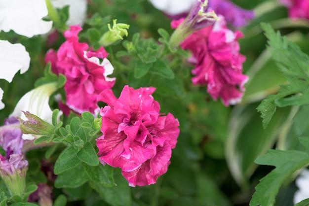 Petunia flores en una cama de flores en gotas de rocío sobre los pétalos. de cerca