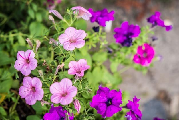 Petunia flores que crecen en el jardín