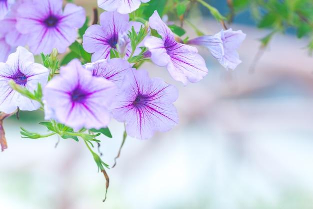 Petunia morada en un ramo de fondos borrosos