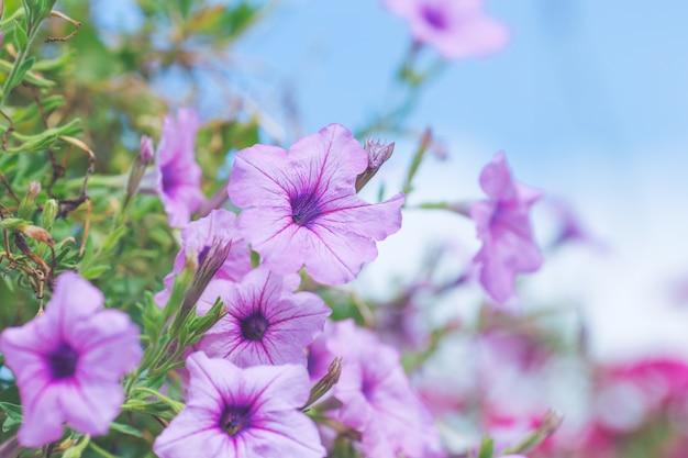 Petunia púrpura en un ramo de fondos borrosos.