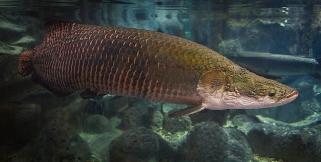 Pez arapaima - pirarucu arapaima gigas, uno de los peces de agua dulce y lagos de río más grandes de brasil - pez cabeza de serpiente