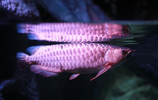 Pez arowana en acuario