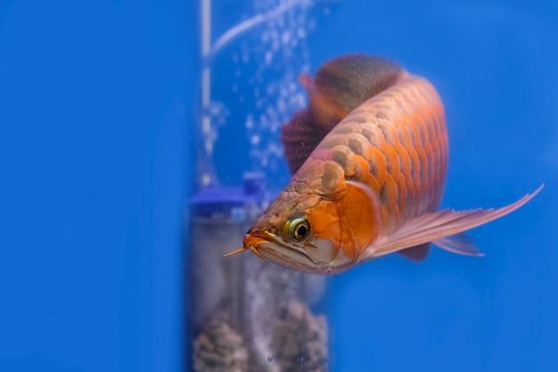 El pez arowana rojo asiático nada en una pecera.