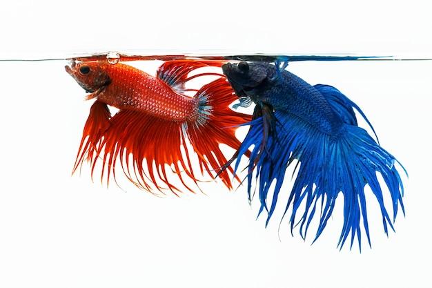 Pez betta azul y rojo, pez luchador aislado sobre fondo blanco.