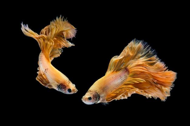 Pez betta de oro amarillo, pez luchador siamés sobre fondo negro