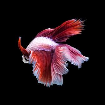 Pez betta, pez luchador siamés aislado sobre fondo negro