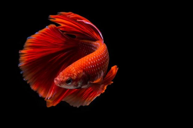 Pez betta rojo, pez luchador siamés sobre fondo negro