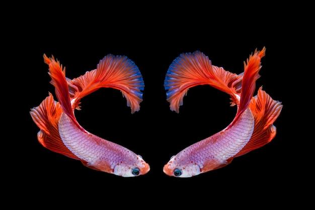 Pez betta rosa y rojo, pez luchador siamés sobre fondo negro
