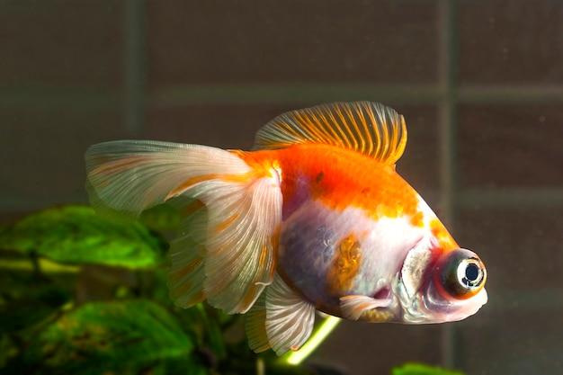 El pez dorado del acuario con ojos muy grandes está nadando en el agua
