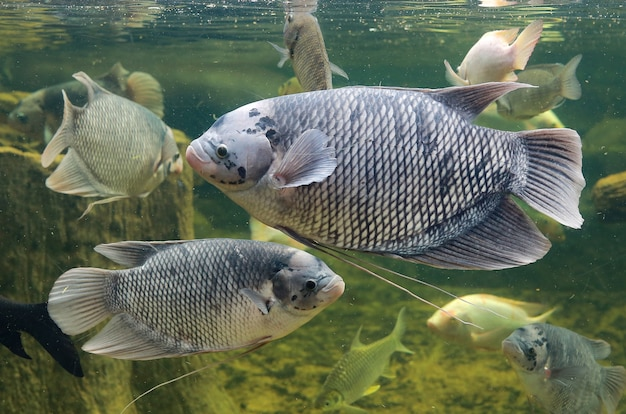 Pez gourami gigante (osphronemus goramy) nadando en un estanque