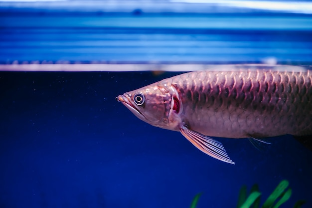 Pez grande y rosado brillante. scleropages jardini en el acuario.