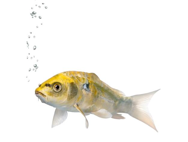 Pez koi ogon amarillo, cyprinus carpio en blanco aislado