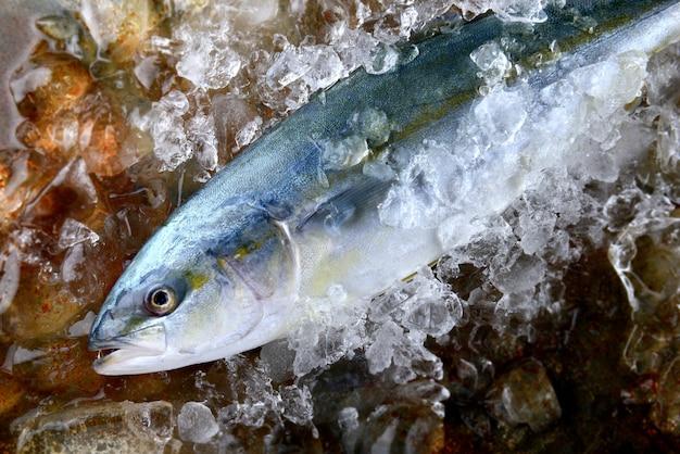 Pez leñador joven o pez buri.