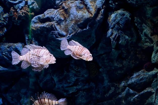 Pez león rojo o pterois volitans, este pez con forma de almendra está cubierto de rayas de cebra rojas y blancas, y tiene aletas largas y elaboradas y espinas venenosas.