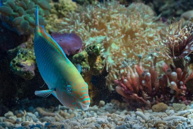 Pez loro en arrecifes de coral