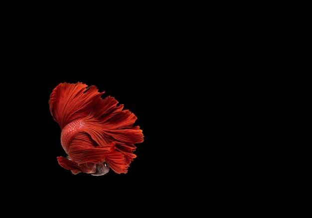 Pez luchador siamés rojo (betta) aislado sobre fondo negro con trazado de recorte