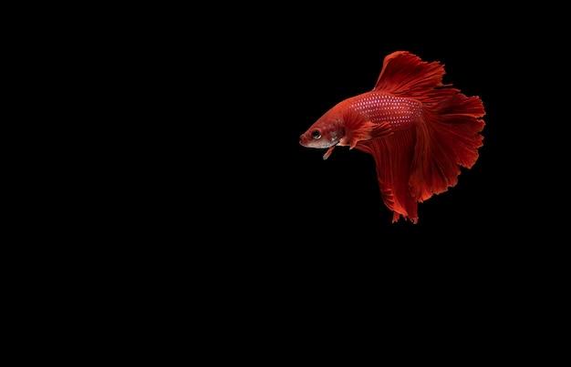 Pez luchador siamés rojo (betta) aislado sobre fondo negro