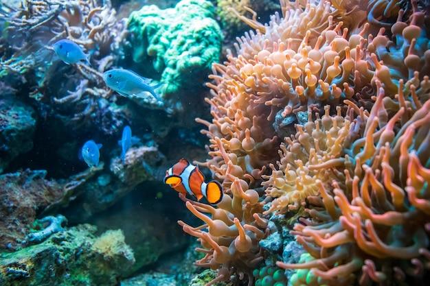 Pez payaso y cíclidos malawi azul nadando cerca de coral duncan