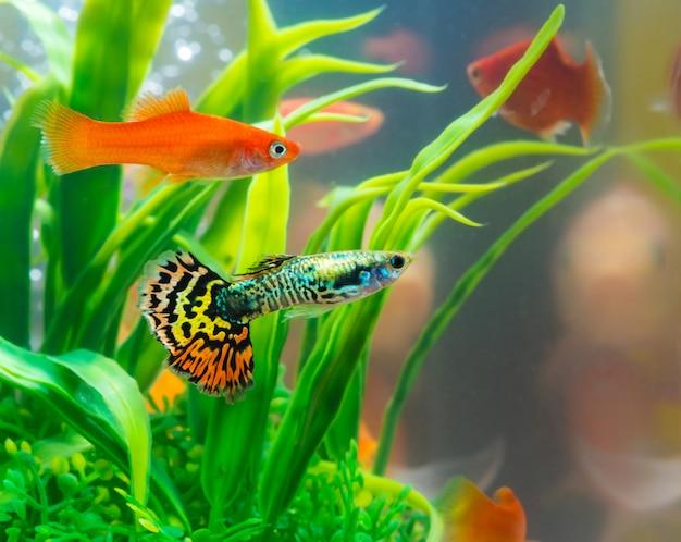 Pez pequeño en acuario o acuario, pez dorado, guppy y pez rojo, carpa elegante con planta verde