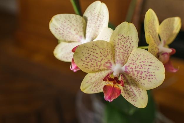 Phalaenopsis amarillo de la orquídea en la floración en un pote de cristal. casa oriental y exótica planta en flor