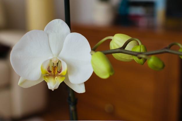 Phalaenopsis blanco de la orquídea con los brotes en la floración. hermosa y delicada planta de flores.