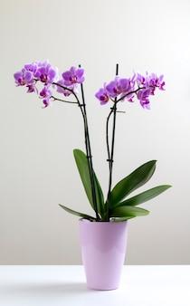 Phalaenopsis orquídea violeta