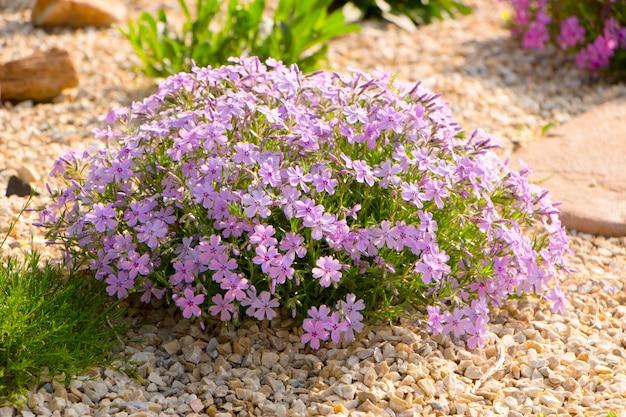 Phlox rastrero púrpura, en el macizo de flores.