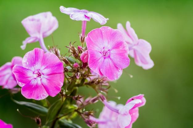 Phlox rosa en el jardín en un día claro de verano, fondo borroso, primer plano