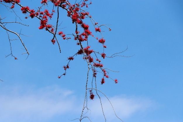 Phyllocarpus septentrionalis donn en flores rojas sobre fondo de cielo azul