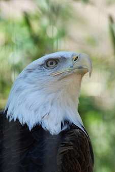 Pico enganchado en un águila calva americana en la naturaleza