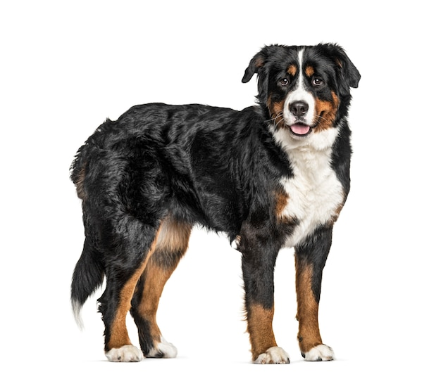 Pie bernese mountain dog, aislado en blanco