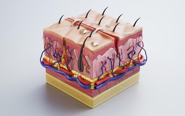 Piel humana, estructura de la piel, grasa corporal. representación 3d