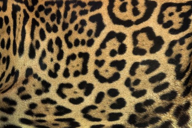 Una piel de jaguar