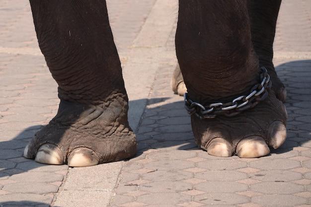 Pies de elefante de cerca