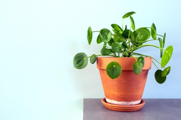 Pilea peperomioides, planta de dinero chino, planta de ovni o planta de panqueques en primer plano de decoración del hogar de diseño moderno retro