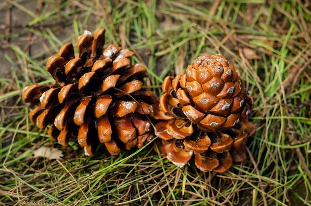 Piña caída en ambiente natural en el suelo