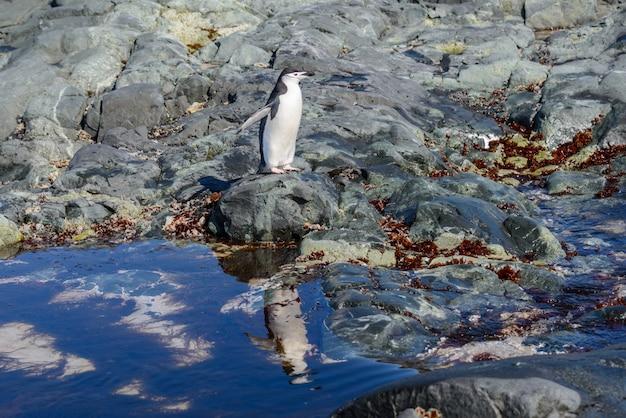 Pingüino de barbijo en la playa en la antártida con reflejo
