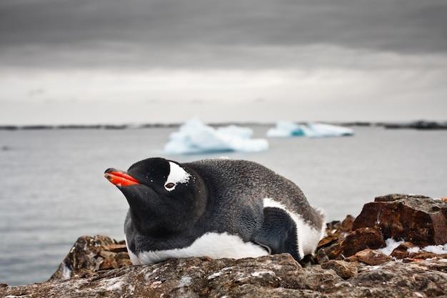 Pingüino blanco y negro