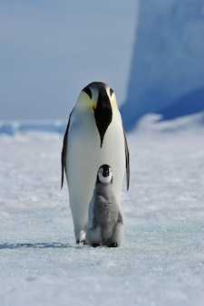 Pingüino emperador con pollito