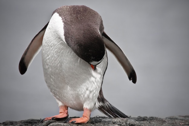 Pingüino en un pilar de piedra