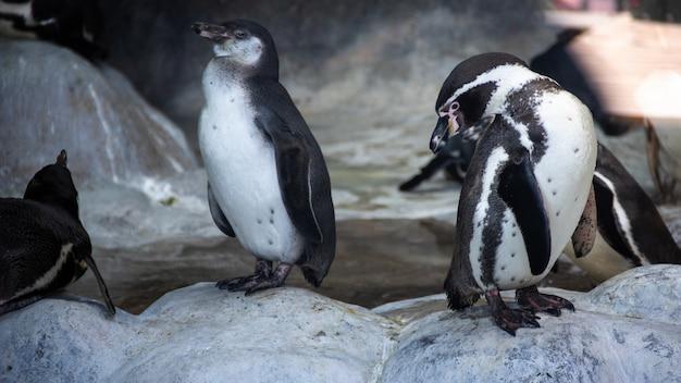 Pingüinos de humboldt de pie en un entorno natural, en las rocas cerca del agua