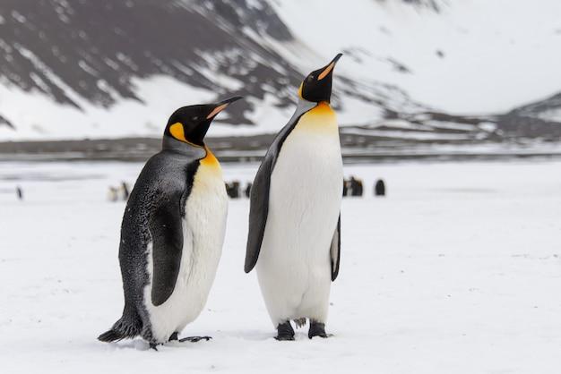 Pingüinos rey en la isla de georgia del sur