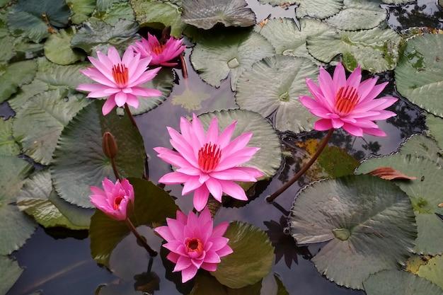 Pink water lily en piscina natural