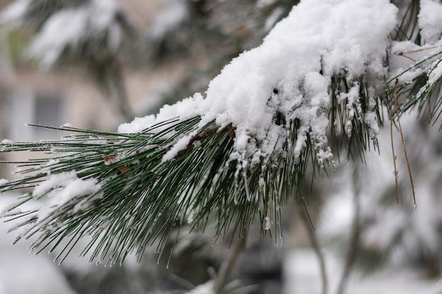 Pino cubierto de nieve