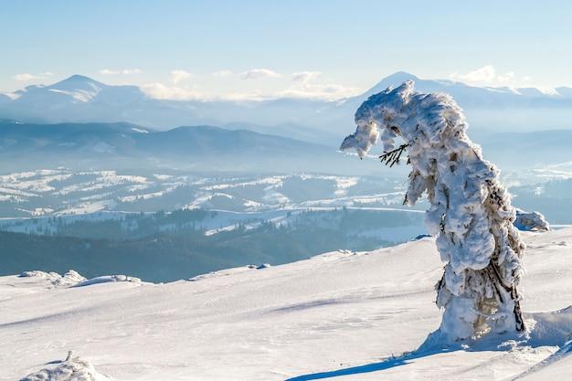 Pino doblado cubierto de nieve en las montañas de invierno
