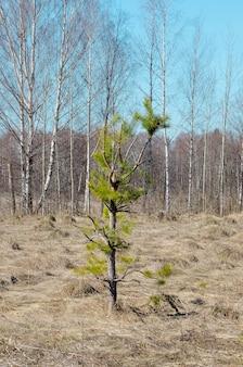 Pino roto de curva en medio de la pradera en primavera